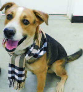 KayLynn Roberts-McMurray  Oliver Twist, a beagle mix, is available for adoption for free this weekend.
