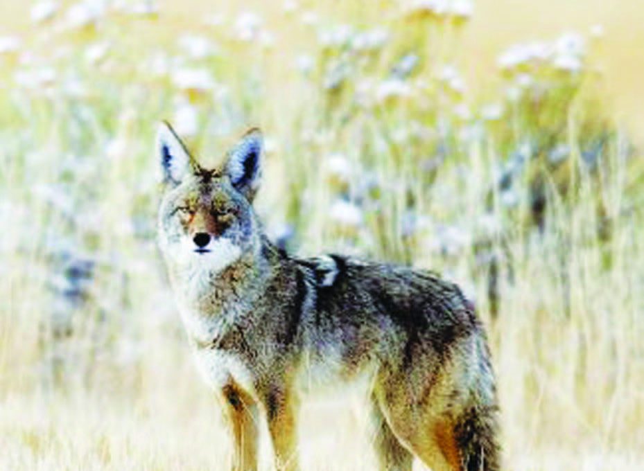"""Submitted photo  Coyotes are designated as an """"unprotected species"""" and will be hunted in White Pine County as part of an event called the Coyote Challenge on Jan. 4"""