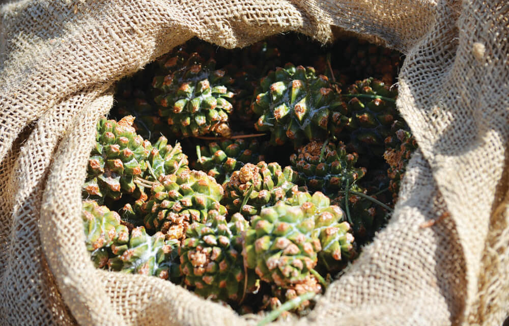 BLM accepting bids for commercial pine nut harvest