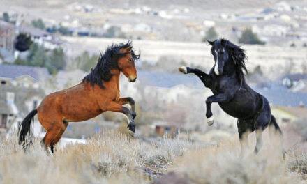Wild-horse roundups kick up questions about handling herds