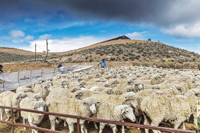 Vogler one of the last sheepherders