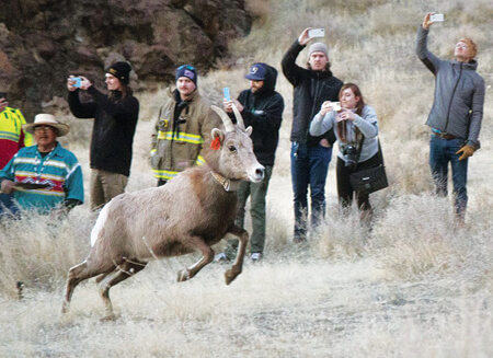 Bighorn sheep released at Pyramid Lake